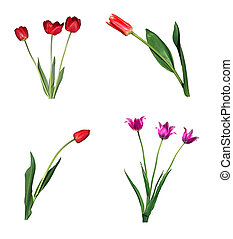 Set of red tulips isolated on white background