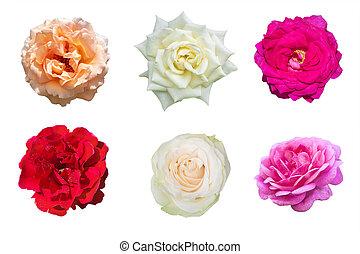 Set of rose flowers isolated on white background.