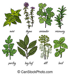 Set of rosemary, mint, thyme, coriander, parsley, basil,...