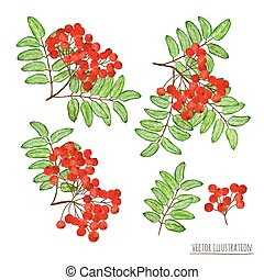 Set of rowan berries with leaves isolated on the white background
