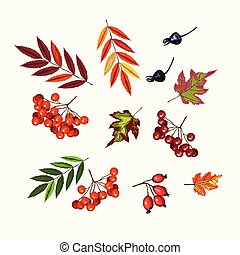 Set of rowan, viburnum berries and fall leaves on the white...