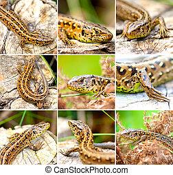 set of Sand Lizard (Lacerta agilis) - set of Sand Lizard...