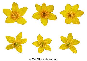 Yellow Caltha Palustis