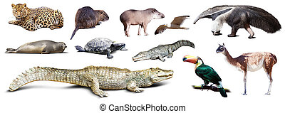 Set of spectacled caiman and other animals of South America...
