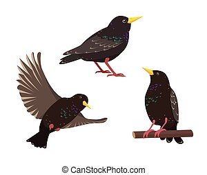 Set of starling birds in different poses isolated