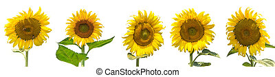 Set of sunflower isolated on white background