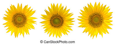 Set of Sunflowers isolated on the white background.