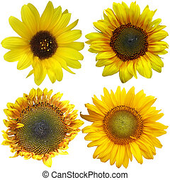 Set of sunflowers Isolated over white