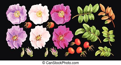 Set of sweet briar - Vector set of sweet briar flowers, ...