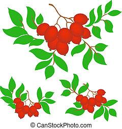 set of three bunches of rowan - three rowan branches on a...