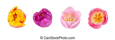 Set of tulips buds in different colours and species isolated on white background