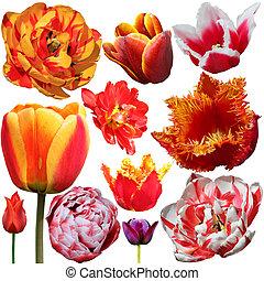 Set of Tulips Isolated on White Background