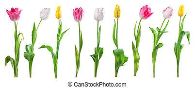Set of tulips isolated