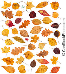 set of various dried autumn fallen leaves isolated on white...