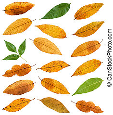 set of various leaves of ash trees isolated on white...