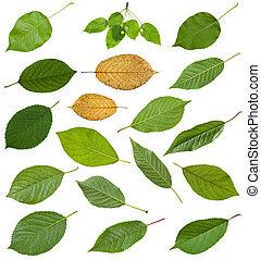 set of various leaves of prunus trees isolated