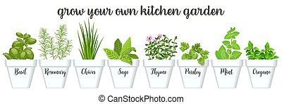 Set of vector culinary herbs in white pots with labels. Green growing basil, sage, rosemary, chives, thyme, parsley, mint, oregano with text
