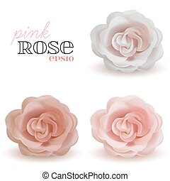 Set of vector realistic pink Rose isolated on white background.