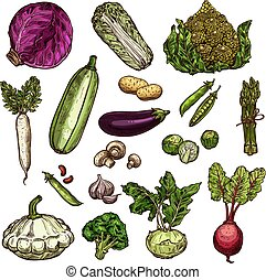 Set of vegetable: potato Peking cabbage, red cabbage or beans, daikon, peas. Vector set of eggplant, Brussels, cabbage or spinach, champignons and beetroot. Vegetable sketch icons of broccoli, squash, garlic or kohlrabi, zucchini, romanesque cabbage