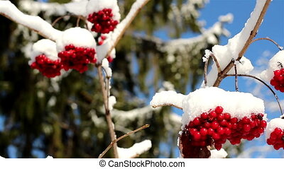 Set of Viburnum opulus Guelder Rose covered with snow on a...