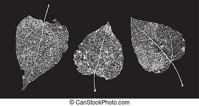 Set of white gray skeletons leaves on a black background. Fallen foliage for autumn designs. Natural leaf aspen and birch. Vector illustration