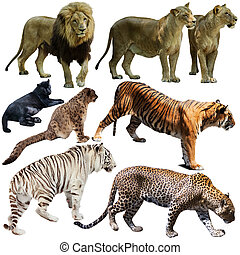 Set of wild mammals animals from cat family isolated