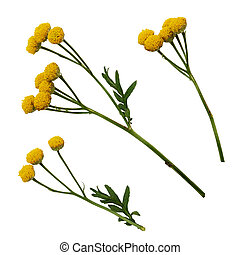 Set of yellow tansy flowers