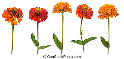 Set of Zinnia flower isolated on white background.