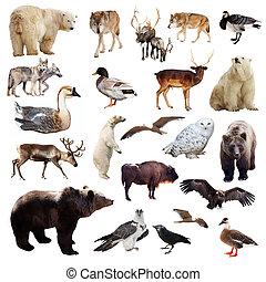 set, op, vrijstaand, animals., witte , europeaan