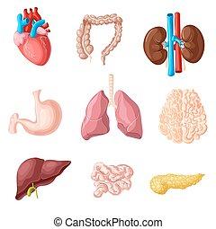 set, organi, interno, umano, cartone animato
