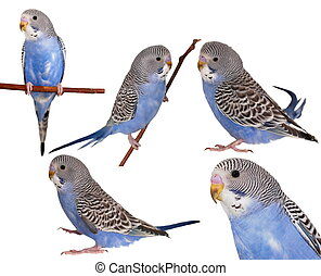 set, pappagallino ondulato, isolato, bianco