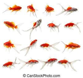 set, pesce oro, isolato, fondo, bianco
