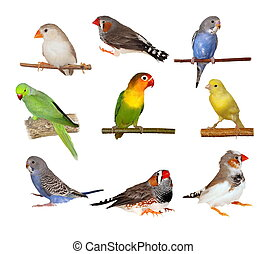 Set pets - Set Lovebirds, Yellow canary, Zebra Finch, ...