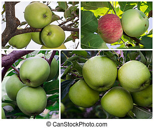 apples on a tree branch with leaves