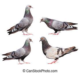 set, piccioni, isolato, bianco
