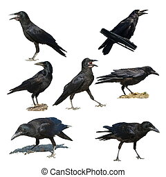 Set Rook isolated (birds) - Rook isolated on white ...