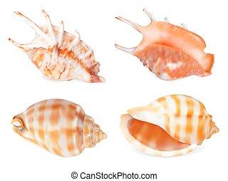 set, seashell, isolato, illustrazione, vettore, white.