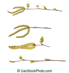 spring birch buds isolated on white