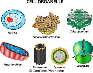 Set the cell organelles. Nucleus, endoplasmic reticulum, ...