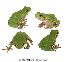 set tree frog isolated on white - Set European tree frog...