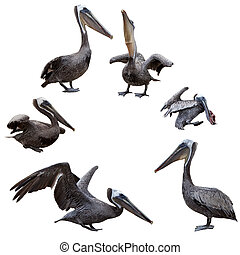 set, van, bruine pelicans