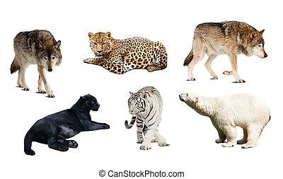set, van, carnivora, mammal., vrijstaand, op, witte