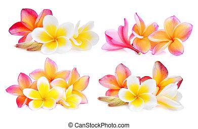 set, van, witte , en, roze, frangipani, (plumeria), bloem, vrijstaand, op wit, achtergrond