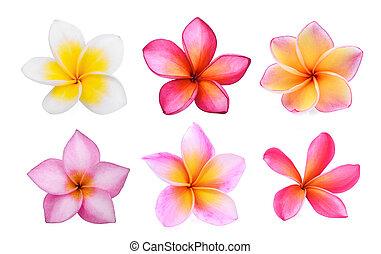 set, van, witte , frangipani, (plumeria), bloem, vrijstaand, op wit, achtergrond