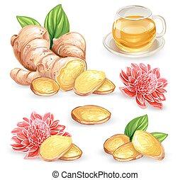 Set vector illustration of a fresh ginger root, sliced, flower and ginger tea.