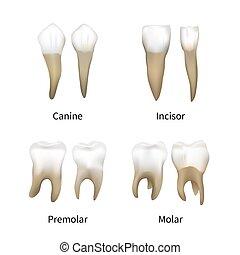 set, vrijstaand, realistisch, menselijke tanden, witte , ...
