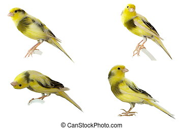 Set Yellow canary Serinus canaria