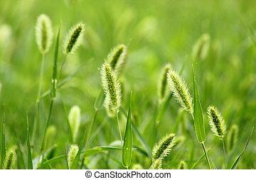 setaria, viridis, brise