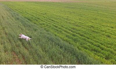 Setter running - Side view of setter running over field,...