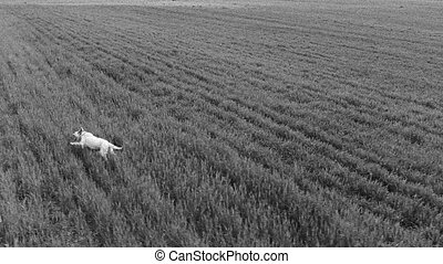 Setter running - Side view of setter running over field,...